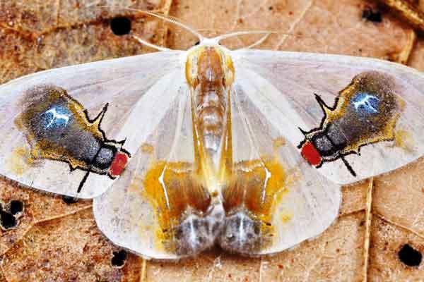 Macrocilix-maia-polilla