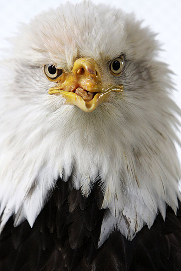 Bald eagle research paper
