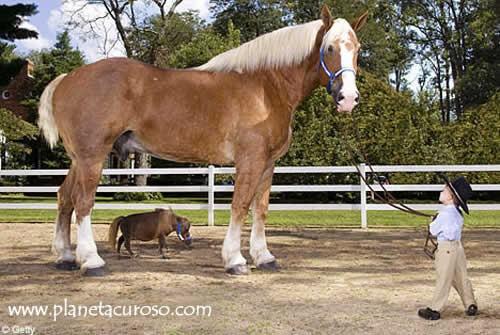 caballo grande pequeno%20m%C3%A1s%20del%20mundo%20ins%C3%B3lito thumb