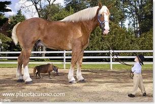 caballo-grande-pequeno más del mundo insólito