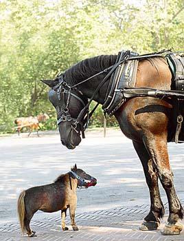 como el caballo más pequeño del mundo.