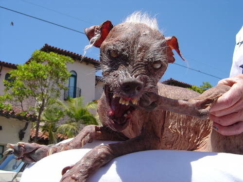 Chinese Crested Ugliest Dog
